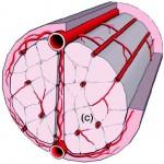 L'apporto ematico è essenziale per la normale funzione dei tenociti e per le capacità auto-riparative proprie del tendine